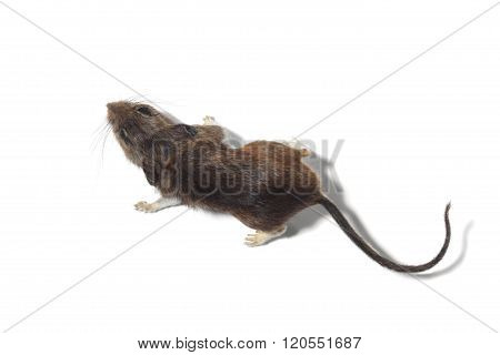 Portrait Of A Mouse