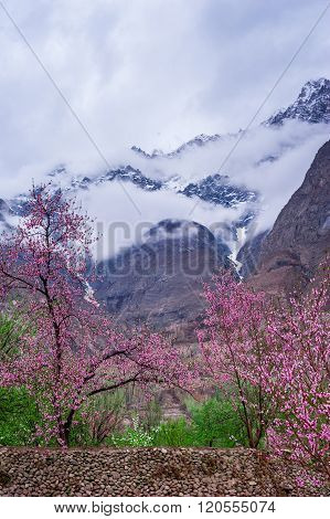 beautiful Landscape of Hunza Valley with Apricot blossom