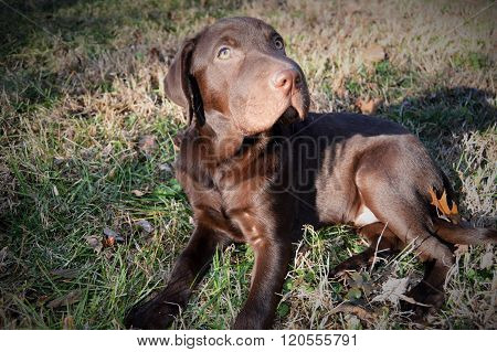Chocolate Lab pup