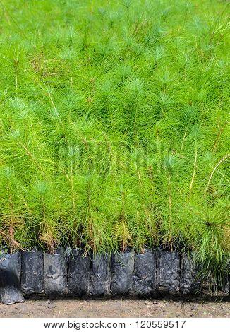 Pine Tree Seedlings