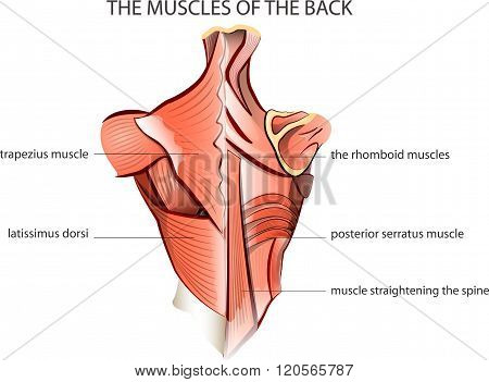 illustration of the muscules of the back. Anatomy.