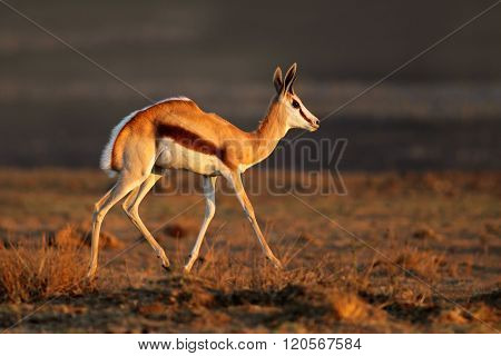 A springbok antelope (Antidorcas marsupialis) in late afternoon light, South Africa