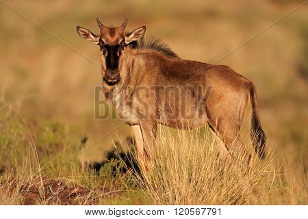 A young blue wildebeest calf (Connochaetes taurinus), South Africa
