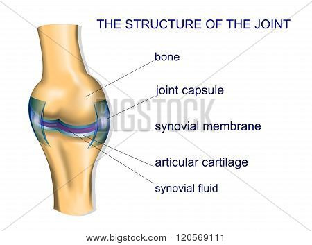 illustration of the joint anatomy. bone. vector