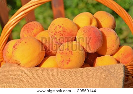 Ripe Ripe Apricots