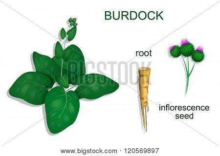 illustration of burdock roots and inflorescence. vector