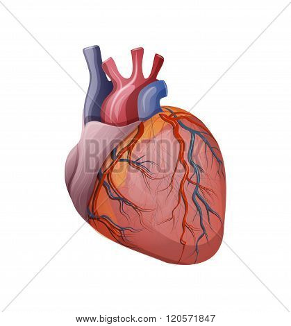 illustration of the human heart. vector. cardiology