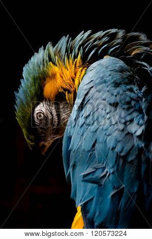 Blue And Yellow Parrot With Black Background