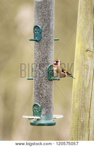 Beautiful Goldfinch Bird Carduelis Carduelis On Garden Feeder