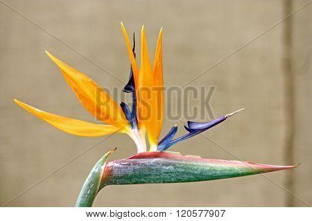 Bird of paradise flower, strelitzia reginae, flowering plant indigenous to South Africa