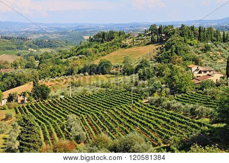 Vineyard landscape before harvest