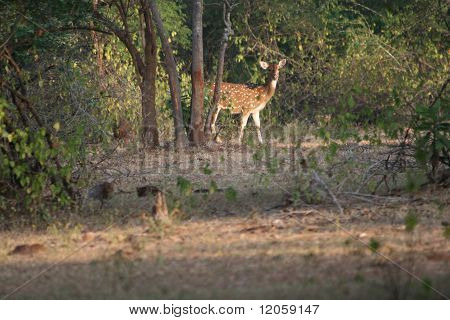 Axis Deer in the Scrubland