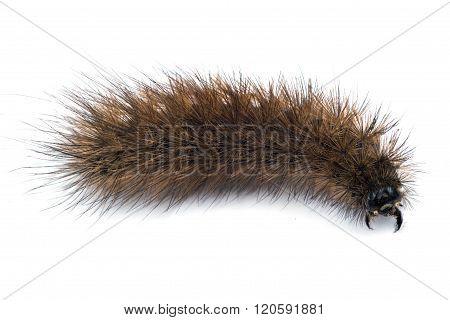 Bear Caterpillar