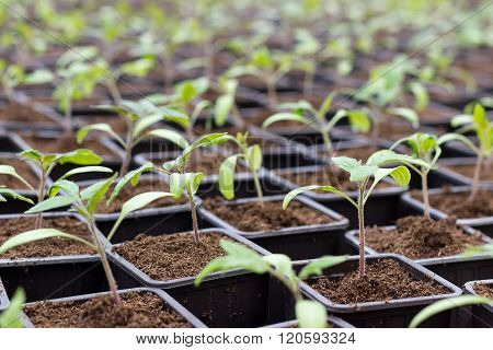Tomato seedling pot in greenhouse