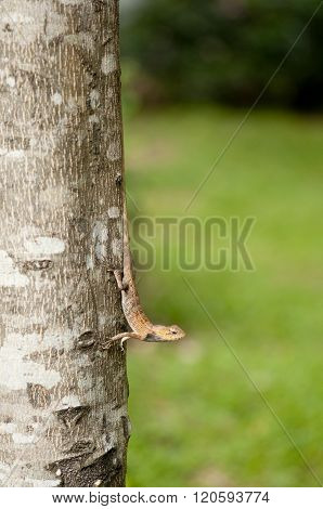 Changeable Lizard On Tree Trunk