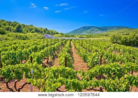 Mediterranean Vineyard On Vis Island