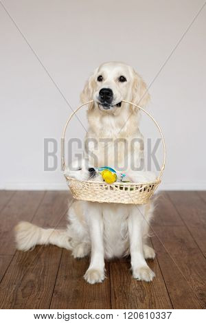 golden retriever dog holding a basket with a puppy