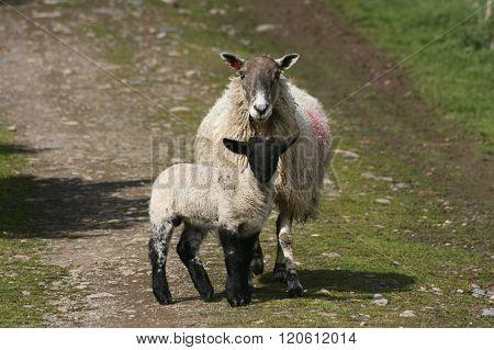 Lamb with ewe