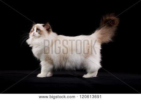 Purebred Ragdoll Cat