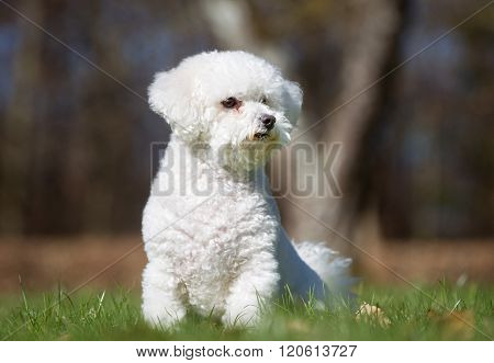 Bichon Frise Dog Outdoors In Nature