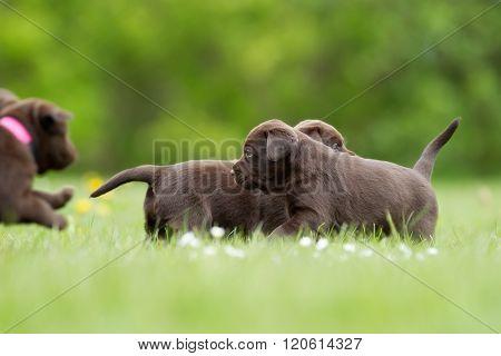 Brown Labrador Retriever Puppies