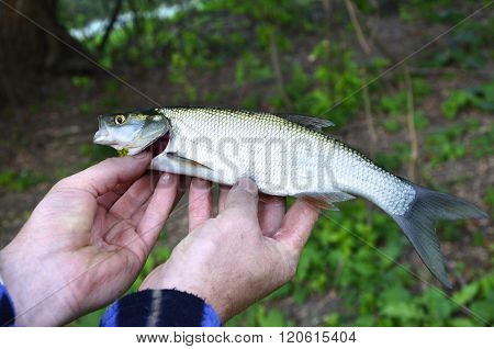 Asp (aspius Aspius) Fish In Hand Fisherman Closeup
