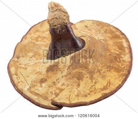 Ganoderma giant