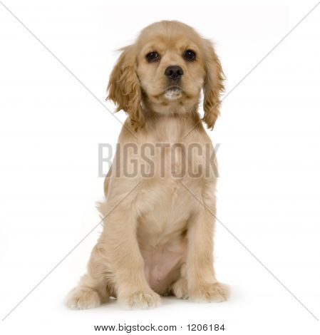 Puppy American Cocker Spaniel