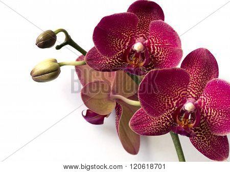 Phalaenopsis orchids on white background.