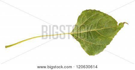 Green Autumn Leaf Poplar