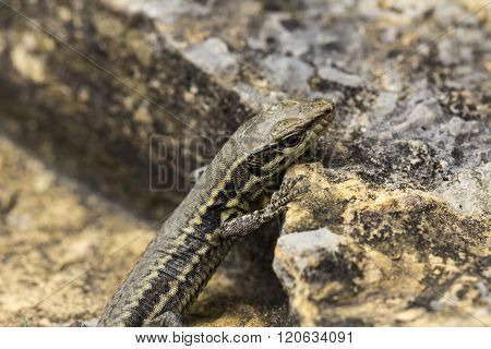 Podarcis muralis Common wall lizard from Germany