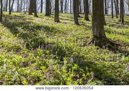 Corydalis flowers (Corydalis cava) on the Freeden mountain in Lower Saxony, Germany, Europe