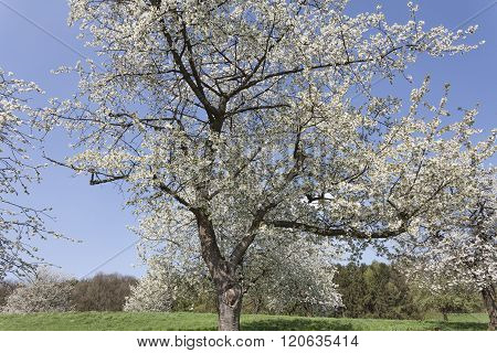 Apple tree in spring, North Rhine-Westphalia, Germany, Europe