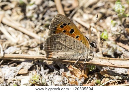 Lycaena phlaeas, Small Copper, American Copper, Common Copper butterfly from Tuscany, Italy, Europe