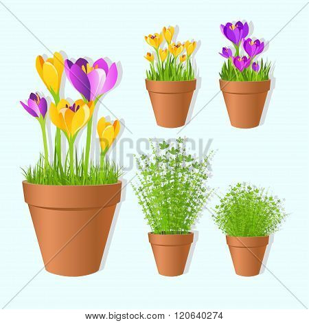 Set Of Vector Spring Garden Flowers In Tots. Crocus Flowers And Green Grass  In Pots,printable Files