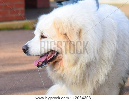close up of a golden mountain bernese dog smiling panting open mouth happy
