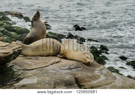 Sea Lion Sticking Nose In The Air