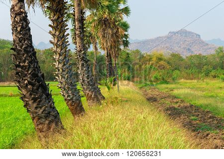 Sugar plam trees and rice field