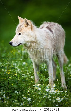 Arctic Wolf (Canis lupus arctos) aka Polar Wolf or White Wolf - Close-up portrait of this beautiful predator against lovely green grass