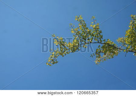 Close Up Ginkgo Tree