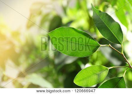 Green leaves of ficus on unfocused background