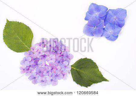 Hydrangea flower parts
