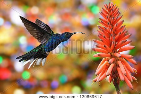 Hummingbird Violet Sabrewing With Tropical Flower