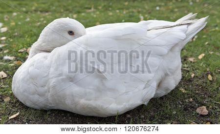 Closeup, macro on a white duck which sleeps on the ground.