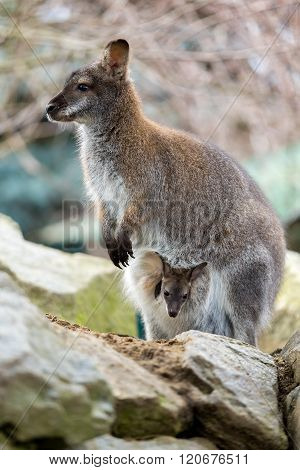Closeup Of A Red-necked Wallaby With Baby