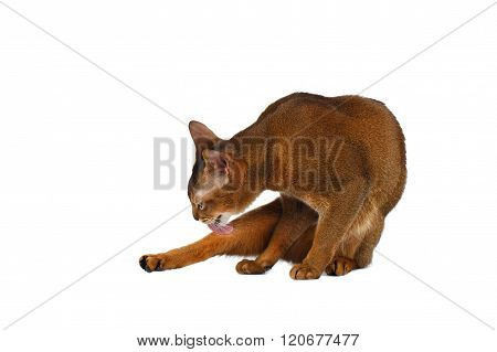 Funny Abyssinian Cat Lick Fur Isolated On White