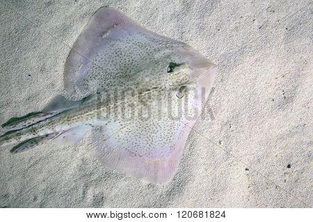 Thornback Ray Lying On The Seabed