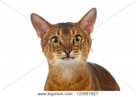 Closeup Abyssinian Cat Curiously Looking In Camera Isolated On White
