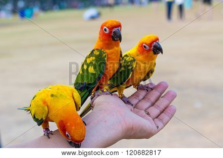 Three Parrot On Hand
