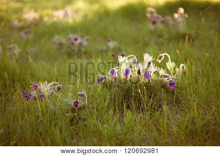 Purple Furry Flower In The Rays Of The Setting Sun
